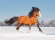 russian draft horse in winter