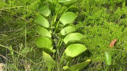 Drachenwurz - Calla palustris in Reihe