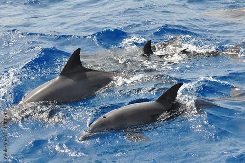 Foto op Canvas Dolfijn Delphine