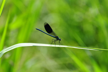 metal-blue dragonfly