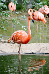 Beautiful American Flamingo standing on two foot
