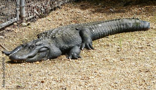 Injured Alligator
