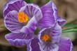 flower(crocus)_09