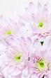 flower[chrysanthemum]_07