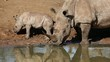 White rhinoceros with calf, Mkuze, South Africa