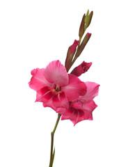 pink gladiolus isolated on white background