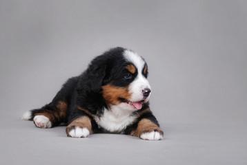 Bernese Mountain Dog puppy portrait
