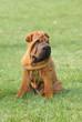 Shar-pei dog puppy portrait