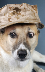 Marine Corp Dog with crazy eyes.