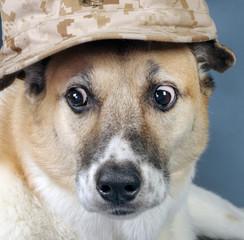 Marine Corp Dog with Crazy Eyes.