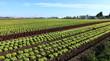 champs de salades en culture intensive