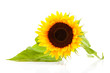 One sunflower in closeup over white background