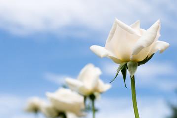 白いバラの花と青空