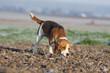 beagle suivant l'odeur du gibier