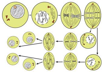 meiosis (cell division)-simple scheme