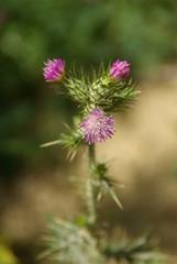 fleur des dunes du pyla