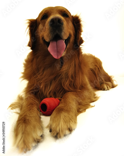 Golden retriever dog very expressive facel ying.