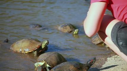 Turtles - TRACHEMYS SCRIPTA ELEGANS