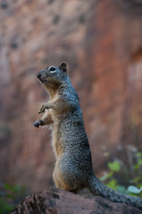 Squirrel in Zion National Park in Utah USA
