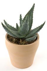 Aloe Vera Blumentopf