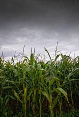 Maisfeld und Regenwolken