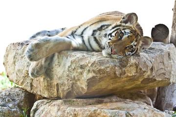 Tigre de bengala tumbado