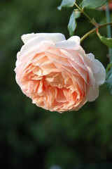 Rose, Abraham Darby