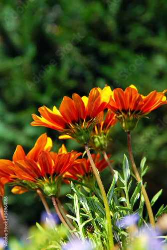 Orange flowers over green