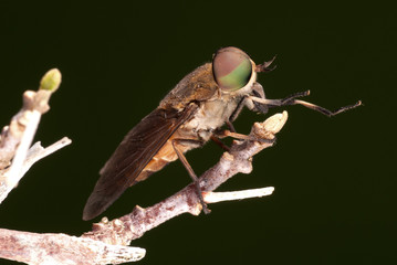 Female Horse Fly - Tabanus sp.