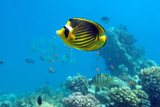 Diagonal Butterfly fish