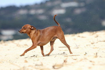 allure ample du pinscher nain