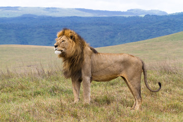 Massive male lion