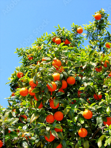 ripe tangerines growing on a tree