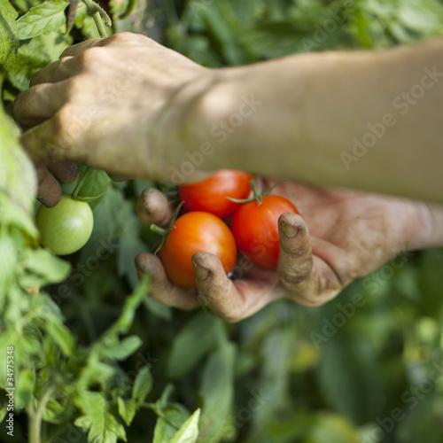 mains récoltant des tomates bio