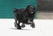 petit chien lion en course