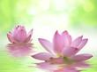 Fototapeten,nelumbo nucifera,lotus,lotusblume,wasser