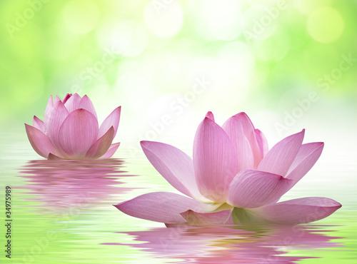 Fototapeten,lotus,has,lotusblume,wasser