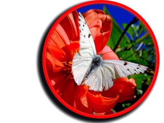 Butterfly on  flower isolated in a circle