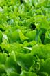 Salade dans le potager