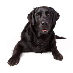 Aufmerksamer Labrador Retriever Mischling schwarz liegend