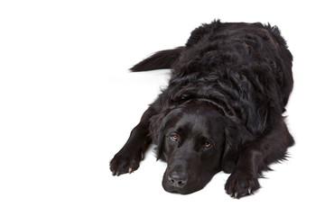 Bettvorleger Labrador Retriever Mischling schwarz