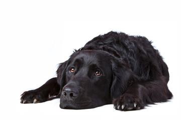 Wartender Labrador Retriever Mischling liegend