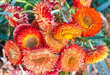 immortelles, Helichrysum bracteatum