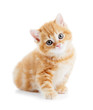 Leinwanddruck Bild - British Shorthair kitten cat isolated