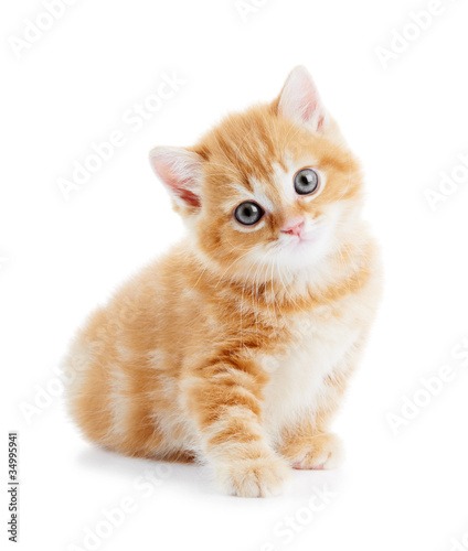 Leinwanddruck Bild British Shorthair kitten cat isolated