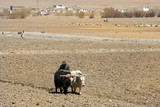 Tibetan farmer plows his field , Tibet