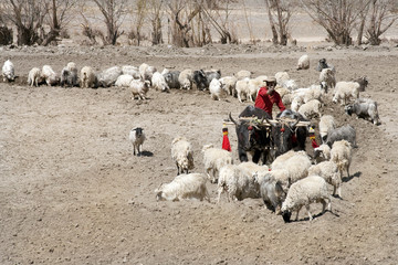 Tibetan farmer plows his field, Tibet