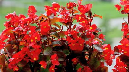 flowers begonia