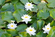 Seerose, Lotus, fleur de lotus