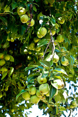 Organic Homegrown Pears in Tree